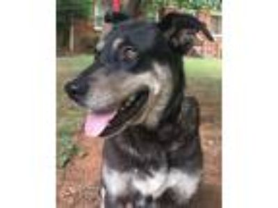Adopt Kiki a Black - with Gray or Silver Shepherd (Unknown Type) / Husky / Mixed