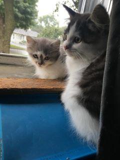 Ragdoll bicolor kittens $300