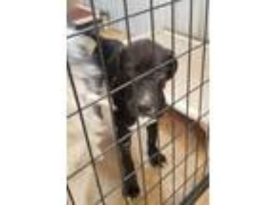 Adopt Chelsy a Black Labrador Retriever / Mixed dog in Guthrie, OK (25912454)