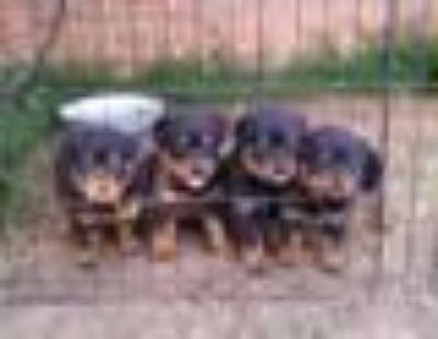 ckc rottweiler pups