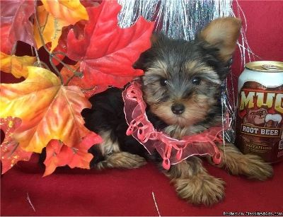 Active & Pure YORKIE puppies for x mass