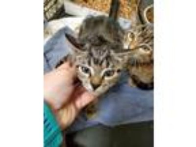 Adopt Queen Bee 14159 a Gray or Blue Domestic Shorthair (short coat) cat in