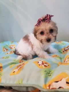 Coton de Tulear PUPPY FOR SALE ADN-102045 - Madagascar Coton de Tulear female puppy for sale