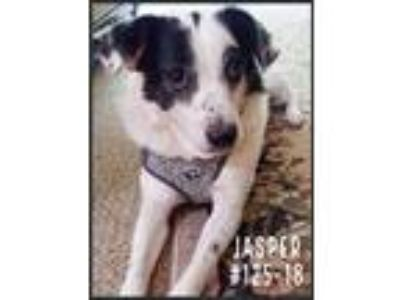 Adopt Jasper a Black - with White Border Collie / Mixed Breed (Medium) / Mixed