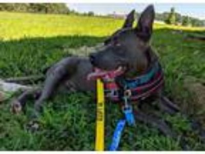 Adopt Marko a Gray/Blue/Silver/Salt & Pepper Pit Bull Terrier dog in