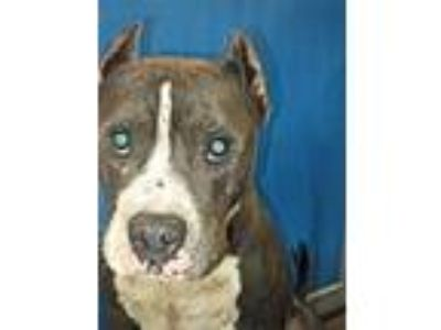 Adopt Cage 7 July 11 m a Staffordshire Bull Terrier