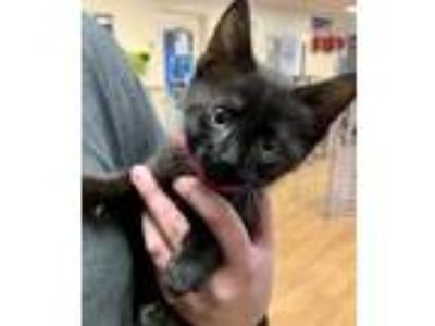 Adopt Ebbi a All Black Domestic Shorthair / Domestic Shorthair / Mixed cat in