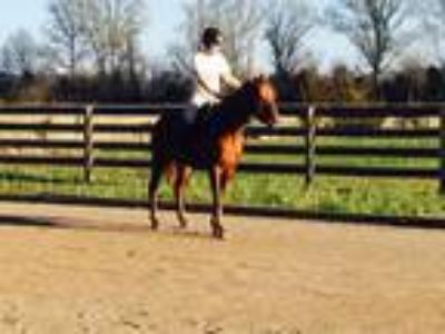 Adopt Reba a Chestnut/Sorrel Tennessee Walking Horse / Pony - Other / Mixed