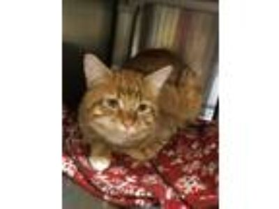 Adopt LOUIS - Shy Quiet Type! a Domestic Short Hair, Tabby