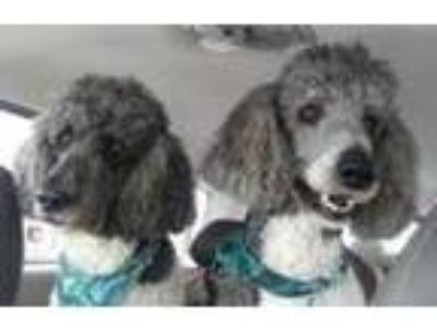 Adopt Copy of Sampson a Poodle (Standard) / Mixed dog in Lagrange, IN (25328190)