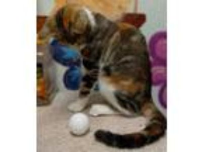 Adopt Sally a Orange or Red Domestic Shorthair / Domestic Shorthair / Mixed cat