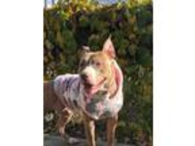Adopt Roxy a Brindle American Pit Bull Terrier / Mixed dog in Providence