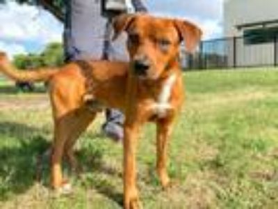 Adopt AD ROCK a Labrador Retriever, Mixed Breed