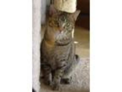 Adopt Sissy a Torbie, Domestic Short Hair