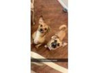 Adopt Opie and Lucy a Tan/Yellow/Fawn - with White Terrier (Unknown Type