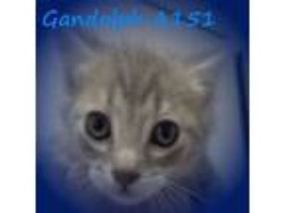 Adopt Gandolph a Domestic Medium Hair