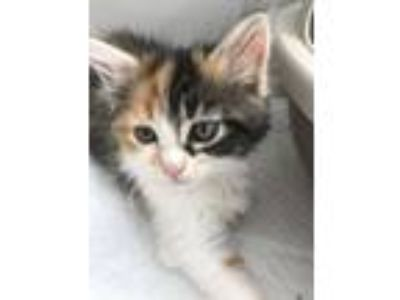 Adopt Tansy a Calico, Domestic Long Hair