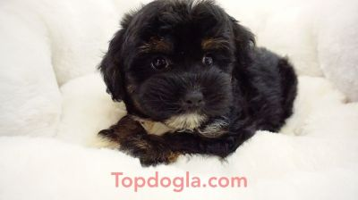 Morky Puppy - Female - Deliah ($1,250)