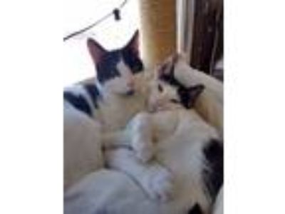 Adopt Tinkerbell and Rufio a Domestic Short Hair