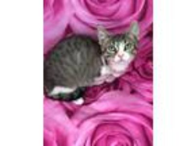 Adopt Ellie Tripod kitten a Domestic Short Hair