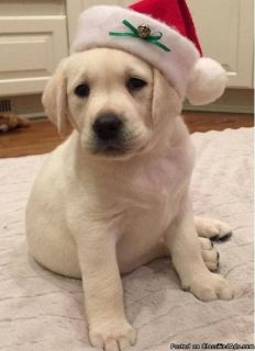 English Type Labrador Retriever puppies available for adoption