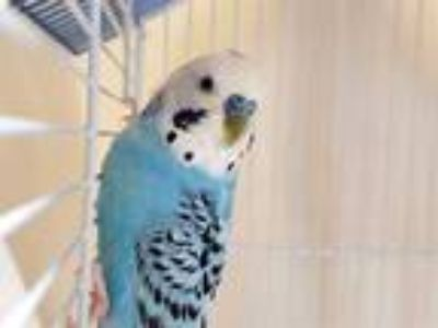 Adopt MOMMA a Blue Parakeet - Other / Mixed bird in St. Louis, MO (25551794)