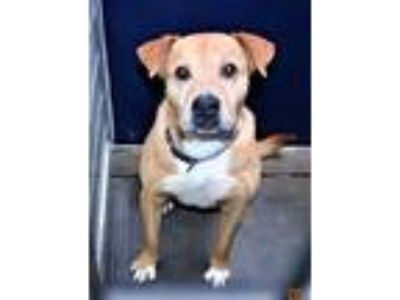 Adopt Butch a Red/Golden/Orange/Chestnut Labrador Retriever / Labrador Retriever
