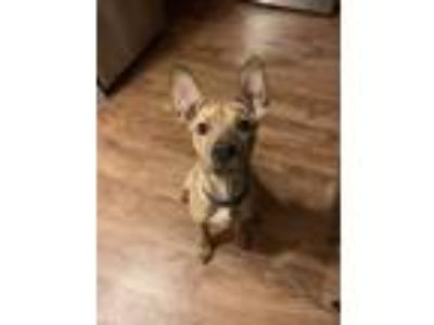 Adopt Lil Girl a Brindle American Pit Bull Terrier / Terrier (Unknown Type