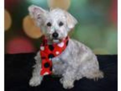 Adopt Jasper a White Westie, West Highland White Terrier / Poodle (Miniature) /