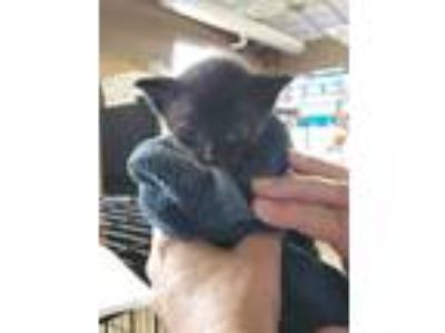Adopt 41962890 a All Black Domestic Shorthair / Domestic Shorthair / Mixed cat