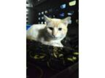 Adopt Cat - Snowball a Domestic Shorthair / Mixed (short coat) cat in Pottstown
