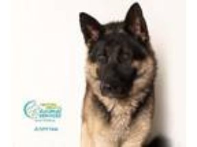 Adopt A709766 a German Shepherd Dog