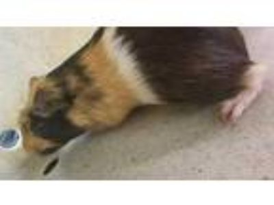 Adopt Rocky a Cream Guinea Pig / Mixed small animal in Washington, DC (25645329)