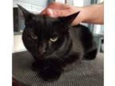 Adopt Gamma (with Leo) a Domestic Shorthair / Mixed cat in Richmond