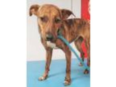 Adopt Wave a Brindle Hound (Unknown Type) / Mixed dog in South Elgin