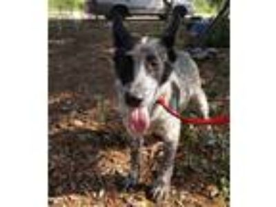 Adopt Bucky a White - with Black Blue Heeler / Mixed dog in Baltimore