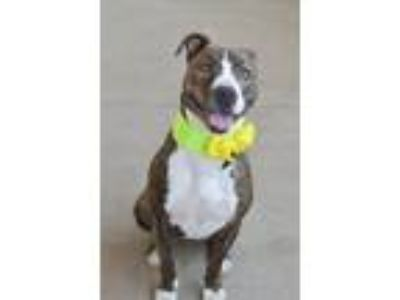 Adopt Marsha a Brindle - with White American Staffordshire Terrier / Mixed dog