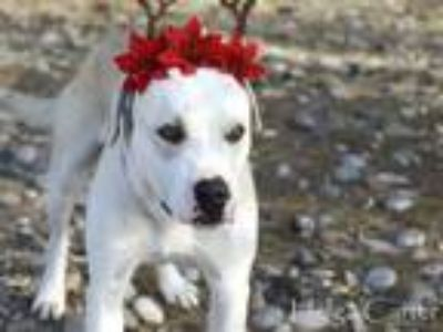 Adopt CREAMER a Labrador Retriever, Mixed Breed