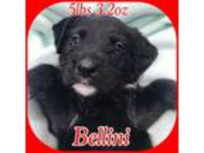 Adopt Bellini a Poodle, Staffordshire Bull Terrier