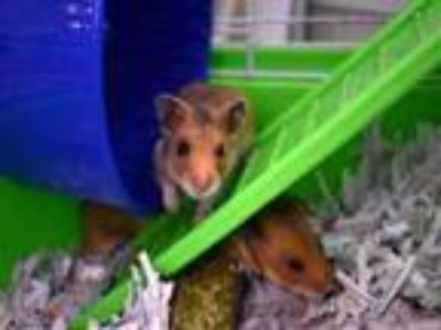 Adopt CHICA CHUBB a Hamster