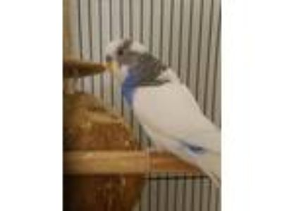 Adopt Budge and New Budge a Parakeet (Other)