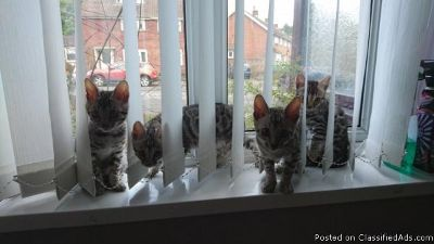CUTE M/F Bengal Kittens Available,