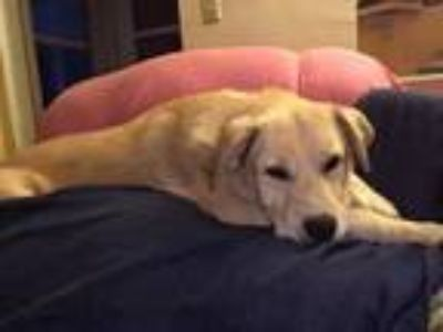Adopt Albert a Golden Retriever