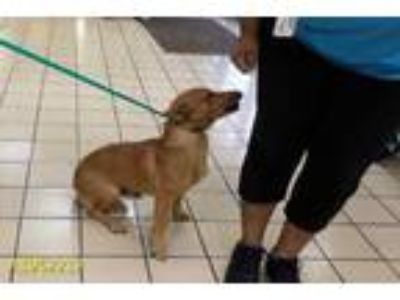 Adopt a Brown/Chocolate Dachshund / Mixed dog in West Palm Beach, FL (25308944)