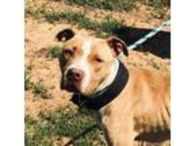 Adopt Silias a Tan/Yellow/Fawn - with White American Staffordshire Terrier /