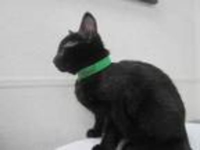 Adopt Asteroid a All Black Domestic Shorthair / Domestic Shorthair / Mixed cat