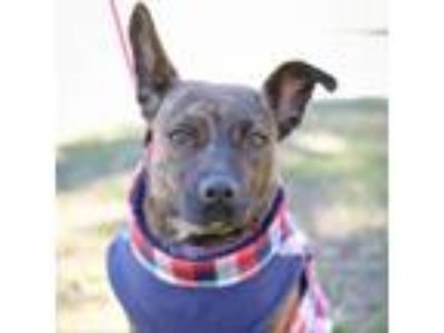 Adopt Buttons a Rat Terrier
