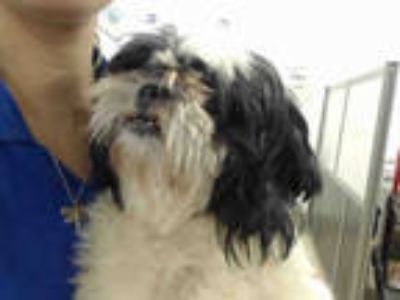 Adopt NICOLAS a Black - with White Shih Tzu / Mixed dog in Doral, FL (25577594)