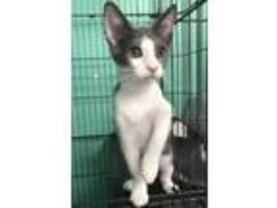 Adopt Valor a Gray or Blue Domestic Shorthair / Domestic Shorthair / Mixed cat