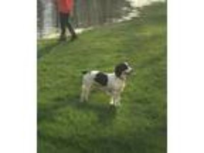 Adopt Dolly a White - with Black English Springer Spaniel / Mixed dog in